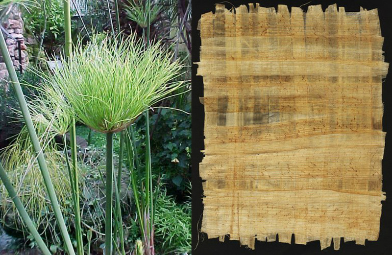 Papyrus Plant and Paper